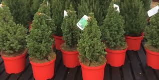 Potted Christmas Trees For Sale by Potted Christmas Trees Tips For A Top Christmas Tree