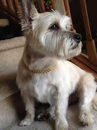 cairn terrier shed hair 203 best cairn terriers my fave images on westies