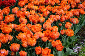 tulip orange princess flower bulbs dutchgrown