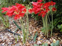 oxblood lilies and other late bulbs you should grow you should
