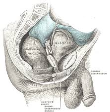 Muscles Of The Pelvic Floor Male by The Urinary Bladder Human Anatomy
