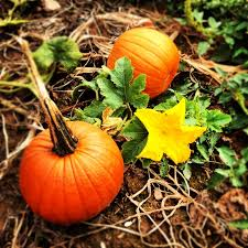 Pumpkin Picking In Freehold Nj by 25 Melhores Ideias De Pumpkin Picking Nj No Pinterest Patches