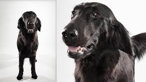 Chesapeake Bay Retriever Vs Lab Shedding by Flat Coated Retriever Dog Breed Selector Animal Planet