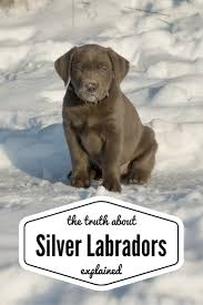 Chesapeake Bay Retriever Shed Hunting by Silver Labs The Facts About Silver Labrador Retrievers