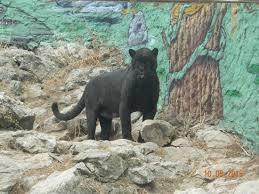 panthere picture of zoo fauverie du faron toulon tripadvisor