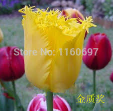 free shipping yellow 5blubs lot flower bulbs tulip bulbs sementes