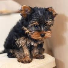 best small dogs that dont shed some dog breeds are considered low