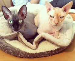 hairless cat price sphynx cats what you should before you buy one pethelpful