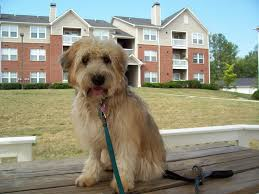 Non Shedding Dog Breeds Kid Friendly by Which Dog Breed Do You Look Like Playbuzz