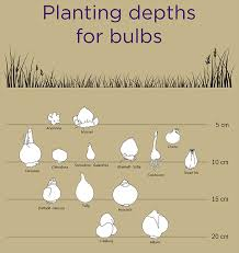 guide to bulb planting notcutts