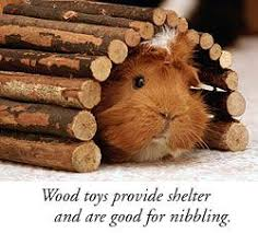 Pine Bedding For Guinea Pigs by 94 Best Guinea Pigs Images On Pinterest Guinea Pigs Guinea Pig