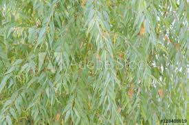 fototapete eukalyptusblätter zweig eukalyptus baum natur hintergrund