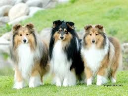 Sheltie Shedding Puppy Coat by Shelties The Only Small Dog I U0027d Ever Have Again Fuzzy Furry
