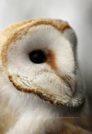200 Best Owl Images On Pinterest | Barn Owls, Bird Art And Owl ... White Screech Owl Illustration Lachina Bbc Two Autumnwatch Sleepy Barn Owl Yoga Bird Feeder Feast And Barn Wikipedia Attractions In Cornwall Sanctuary Wishart Studios Red Eastern By Ryangallagherart On Deviantart Owlingcom Biology Birding Buddies 2000 Best 2 Especially Images Pinterest Screeching Youtube