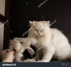 Siberian Cat Hair Shedding by Persian Cat Pile Cat Hair Stock Photo 184939817 Shutterstock