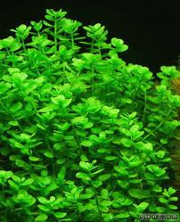 bacopa monnieri aquatic ornamentals