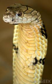 Snake Skin Shedding Frequency by Why Do Snakes Shed Their Skins With Pictures