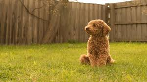 poodles oodles and more non shedding purebred and hybrid dogs