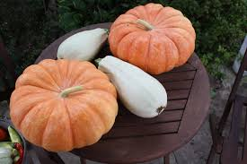Fertilizer Requirements For Pumpkins by The Redeemed Gardener How To Grow Pumpkins Successfully