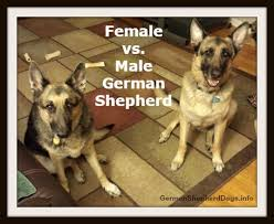 Shedding Blade German Shepherd by Female Vs Male German Shepherd Which One Should You Get