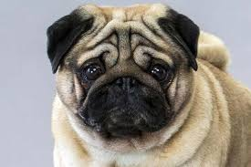 Do Pugs And Puggles Shed by Pug Dog Breed Information American Kennel Club