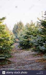 Nordmann Fir Christmas Trees Wholesale by Nordman Christmas Tree Stock Photos U0026 Nordman Christmas Tree Stock