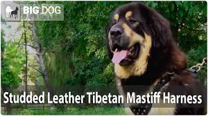 Cane Corso Mastiff Shedding by Giant Tibetan Mastiff In Stylish Studded Leather Dog Harness Youtube