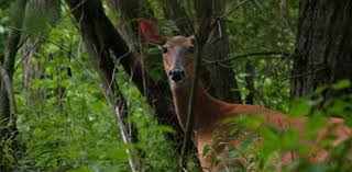 How To Hunt Doe Bedding Areas Grand View Outdoors