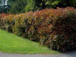 Fraser Christmas Tree Farm Ri by Growing Red Tip Photinia In The Home Garden