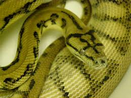 Coastal Carpet Python Facts by Our Snakes U2014 Rogue Reptiles