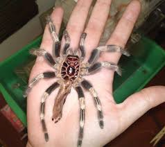 brazilian red and white tarantula molting in captivity what s