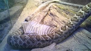 western diamondback rattlesnake shedding youtube