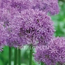 allium purple sensation flower bulb information totalgreen