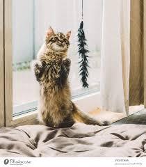 junge katze macht männchen vor dem spielzeug ein