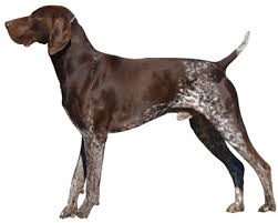 german shorthaired pointer shed german shorthaired pointer information facts pictures
