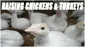 95 Best Turkeys Images On Pinterest Raising Chickens Backyard ... Raising Turkeys Morning Routine Youtube 117 Best Helpful Tips And Tricks For Livestock Pets Images On What Do Wild Turkeys Eat Feeding Birds Your Homestead Homesteads Turkey 171 Ducks Geese Guineas Farm Tales A Holiday Feast In Our Own Backyard Free 132 Pinterest Backyard Chickens 1528 Chickens Coops Chicken How To Raise Hgtv Bring Up Other Fowl