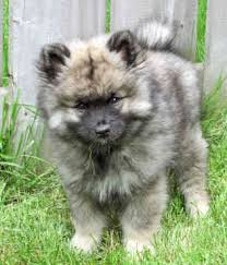 Dogs That Dont Shed Keeshond by Keeshond Keeshonden Chien Loup German Spitz Deutscher