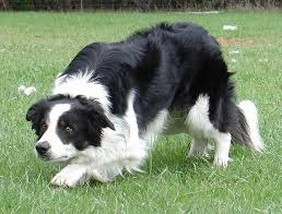 Do Blue Heeler Border Collies Shed by 100 Blue Heeler Mix Shedding Truly Interesting Facts About