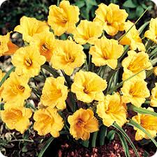 q stella d oro daylily of gold mill bulbs