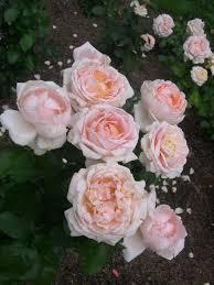 Betty White rose Roses ❀ Pinks Magenta Pinterest