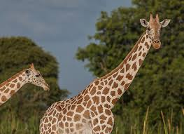 West African Giraffe Conservation