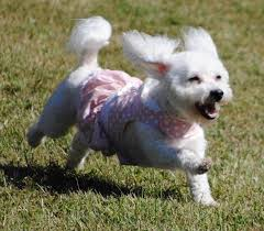 Non Shedding Dog Breeds Small by Small Dog Breeds List Of All Small Dogs Small Hypoallergenic