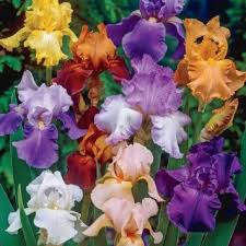 buy reblooming bearded iris colorful cocktail mix 3 large