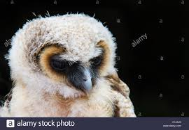 Barn Owl Uk Night Stock Photos & Barn Owl Uk Night Stock Images ... Black Barn Owl Oc Eclipse By Pkhound On Deviantart Closeup Of A Stock Photo 513118776 Istock Birds Of The World Owls This Galapagos Barn Owl Lives With Its Mate A Shelf In The Started Black Paper Today Ref Paul Isolated On Night Stock Photo 296043887 Shutterstock Stu232 Flickr Bird 6961704 Moonlit Buttercups Moth Necklace Background Image 57132270 Sd Falconry Mod Eye Moody