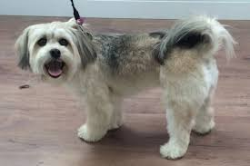 lhasa apso puppy shedding lhasa apso haircut styles image collections haircut ideas for