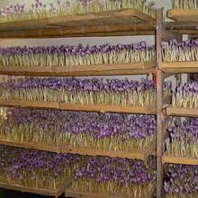 saffron seed wholesale seeds suppliers alibaba