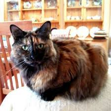haired cat what breed is my cat care community
