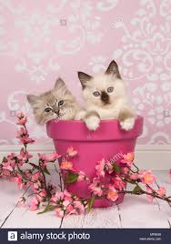 zwei rag doll baby katzen in einem rosa blumentopf mit rosa