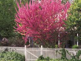 Eastern Redbud Tree Facts And Care Info Garden Design Varieties