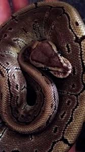 Ball Python Bedding by How To Care For Ball Pythons 8 Steps With Pictures Wikihow